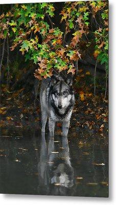 Metal Print featuring the photograph Autumn Wolf by Shari Jardina