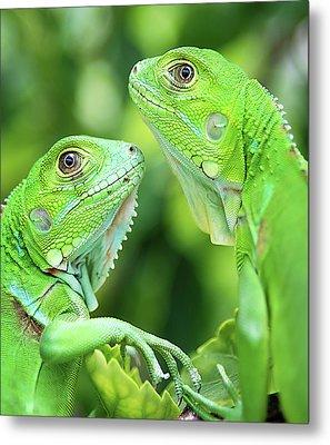 Baby Iguanas Metal Print by Patti Sullivan Schmidt