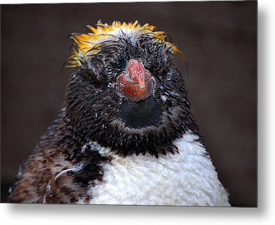 Baby Penguin Metal Print by Rob Hawkins