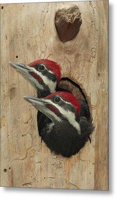 Baby Pileated Woodpeckers Peer Metal Print by George Grall
