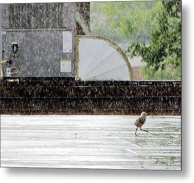 Baby Seagull Running In The Rain Metal Print by Bob Orsillo