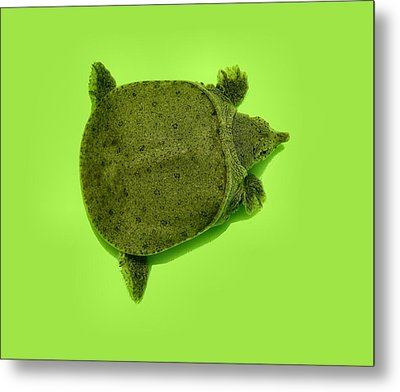 Baby Soft Shelled Turtle Metal Print by Kathy Daxon