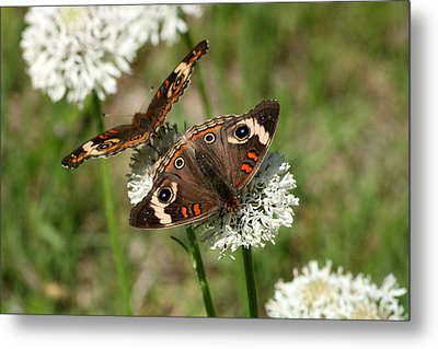 Back To Back Butterflies Metal Print