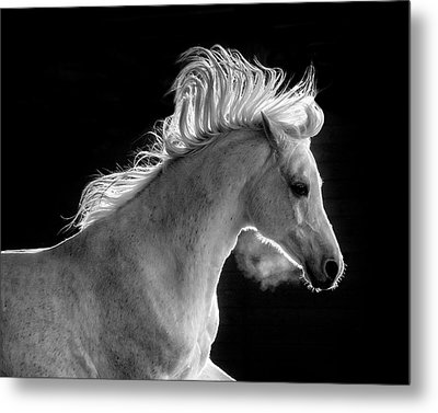 Backlit Arabian Metal Print by Wes and Dotty Weber