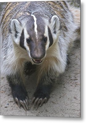 Badgered Badger Metal Print