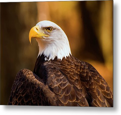 Bald Eagle 2 Metal Print