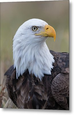 Metal Print featuring the photograph Bald Eagle Portrait 2 by Angie Vogel