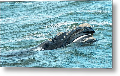 Baleen Whale Surfaces Metal Print by Tim Hester