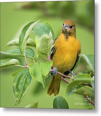 Metal Print featuring the photograph Baltimore Oriole Closeup by Ricky L Jones