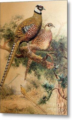 Bar-tailed Pheasant Metal Print