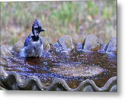 Bathing Bluejay Metal Print by Joy Tudor