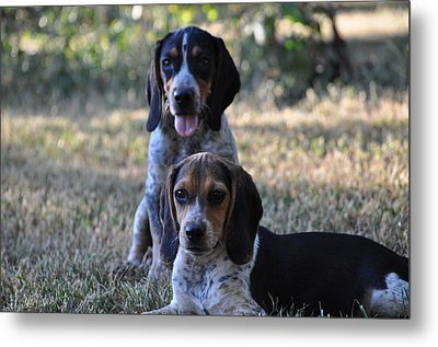Beagles Metal Print by Tammy Price
