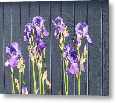 Bearded Iris  Metal Print by Laurie Kidd