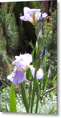 Bearded Iris Metal Print by Susan Alvaro