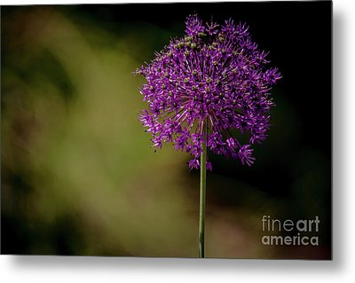Beautiful Alium Metal Print