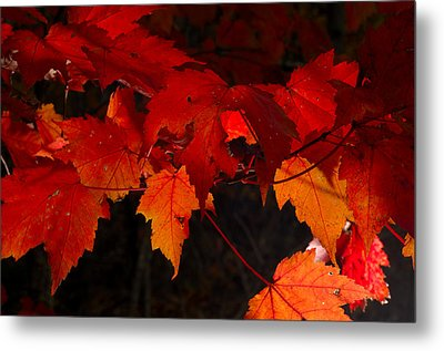 Beautiful Backlit Autumn Maple Leaves Metal Print by Darrell Young
