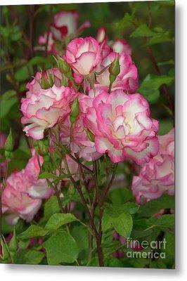 Beautiful Nicole Roses Lighter Metal Print