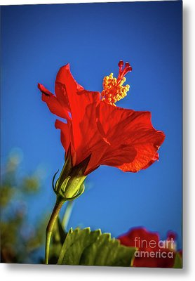 Beautiful Red Hibiscus Metal Print