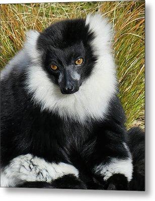 Beautiful Ruff - Black And White Ruffed Lemur Metal Print