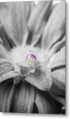 Beautiful Splash Of Purple On A Daisy In The Garden Metal Print