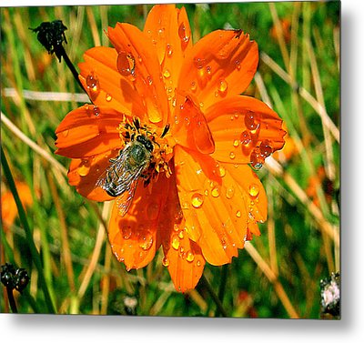 Metal Print featuring the photograph Bee Gathering Pollen On Desert Cosmos by Merton Allen