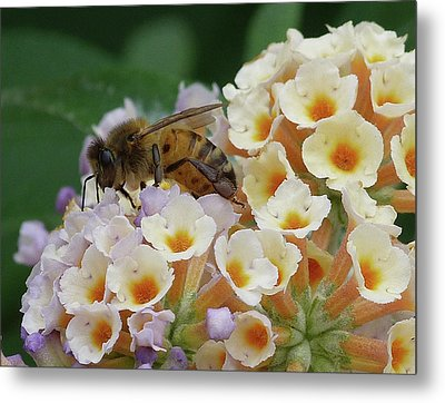 Bee Seeking Pollen Metal Print