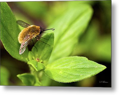 Beefly Metal Print by Christopher Holmes
