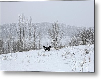 Bernes Mountain Dog In Snow Metal Print by Charline Xia