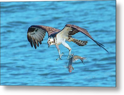 Best Osprey With Fish In One Talon Metal Print
