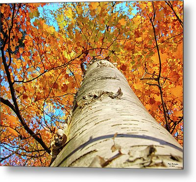 Birch Beauty Metal Print