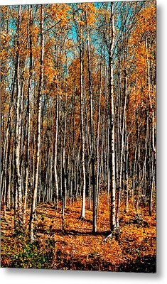 Birch Metal Print by Brigid Nelson
