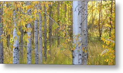 Birch Forest Metal Print by Bonnie Bruno