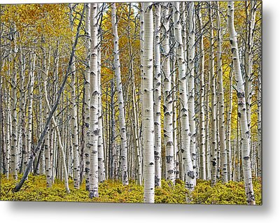 Birch Tree Grove With A Touch Of Yellow Color Metal Print
