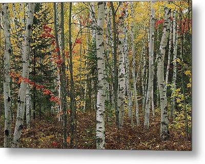 Birch Trees With Autumn Foliage Metal Print