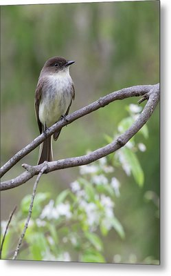 Bird - Eastern Phoebe Metal Print