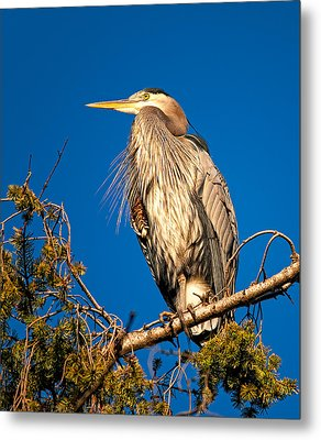 Birds Of Bc - No.7 - Great Blue Heron - Ardea Herodias Metal Print by Paul W Sharpe Aka Wizard of Wonders