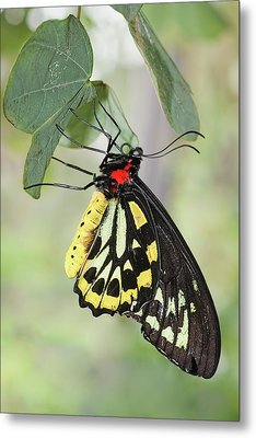 Metal Print featuring the photograph Birdwing Butterfly I by Dawn Currie
