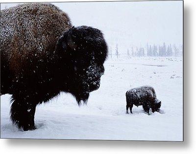Bison Bison Bison In The Snow Metal Print by Joel Sartore