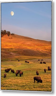 Bison Grazing On Hill At Hayden Valley Metal Print by Sankar Raman