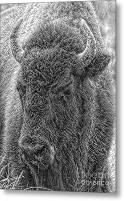 Metal Print featuring the photograph Bison  by Robert Pearson