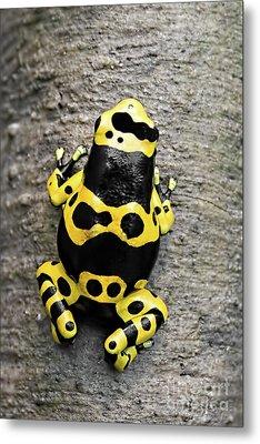 Black And Yellow Poison Dart Frog Metal Print by Barbara McMahon