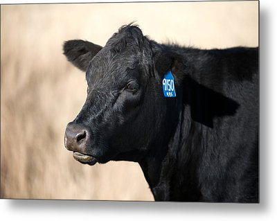 Black Angus Cow Metal Print by Todd Klassy