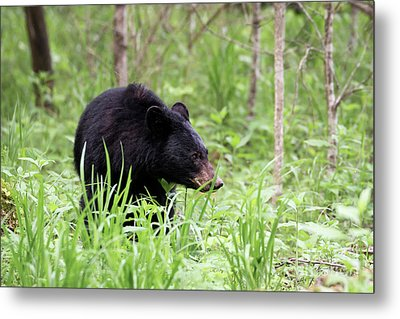 Black Bear Metal Print by Andrea Silies