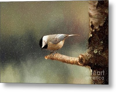 Metal Print featuring the photograph Black Capped Chickadee by Darren Fisher