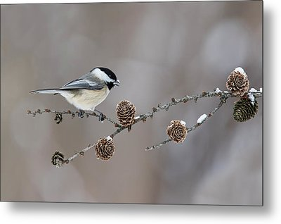 Metal Print featuring the photograph Black-capped Chickadee by Mircea Costina Photography