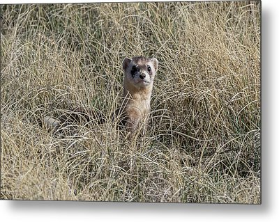 Black-footed Ferret Checks Out Its Surroundings Metal Print