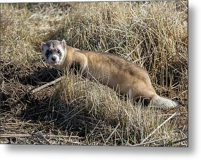 Black-footed Ferret On The Prowl Metal Print