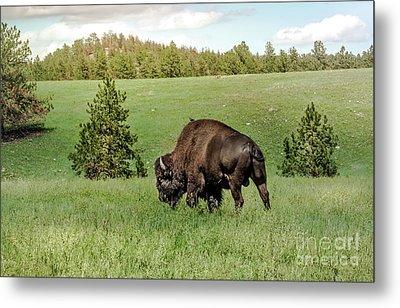 Black Hills Bull Bison Metal Print by Robert Frederick