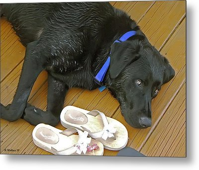 Black Lab Resting Metal Print by Brian Wallace