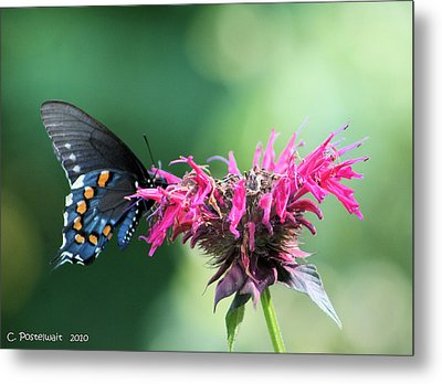 Black Swallowtail And Raspberry Fizz Monarda 2 Metal Print